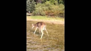 Download Deer death by EHD 1 Video