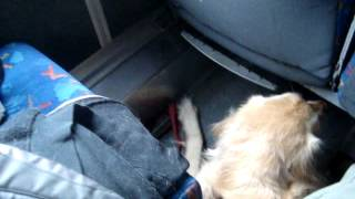 Download service dog on greyhound Video