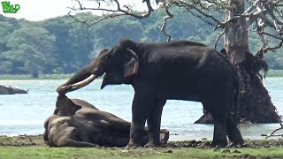 Download A mighty tusker elephant slays a young elephant. The herd mourns after Video