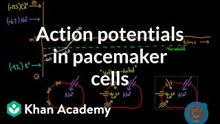 Download Action potentials in pacemaker cells | Circulatory system physiology | NCLEX-RN | Khan Academy Video