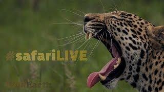 Download safariLIVE - Sunrise Safari LIVE to Nat Geo WILD Big Cat Week - Dec. 15, 2017 Video