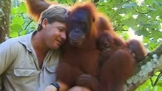 Download Crocodile Hunter Steve Irwin Has Emotional Encounter With Mother Orangutan. Video