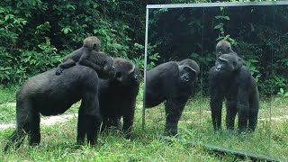Download Gabonese Gorilla family all have cool reactions to their mirror reflection except for the silverback Video