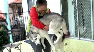 Download Wolfie the Husky meets Human Mum again after 2 YEARS! Video