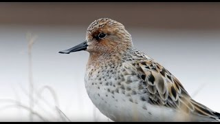 Download Saving the Spoon-billed Sandpiper Video