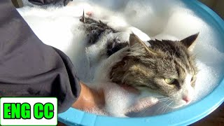 Download 保護猫ボス吉、初めてのシャンプーで極太のしっぽがゴボウになる!Boss Cat's first bath time. His thick tail looks like a burdock. Video