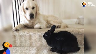 Download Bunny and Golden Retriever Dog Do Everything Together - OLAF & ANNIE | The Dodo Video