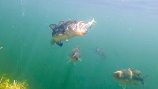 Download BIG Swimbaits Getting DESTROYED! Epic Underwater Footage! Video