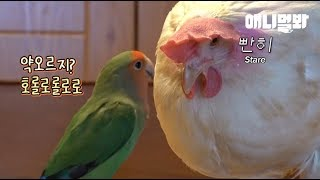 Download 이번주도 정상적인 앵무새 보여드리기는 틀렸네요 ㅣ Why Is This Love Bird Always Upset With An Elegant Chicken? Video