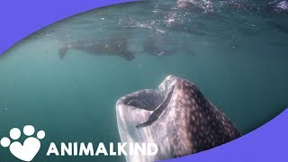 Download Go inside the mouth of a whale shark Video