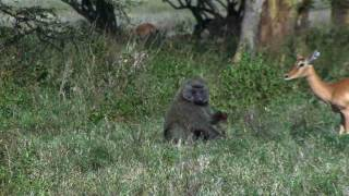 Download Baboon eating Baby Impala alive Video