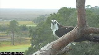 Download Breakfast With An Osprey – Feb. 22, 2017 Video