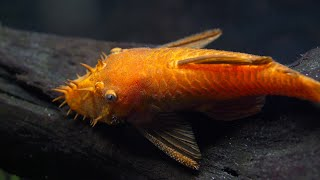 Download How to Breed Bristlenose Plecos. Super Red Bristlenose Plecostomus Spawning Plecos. Video