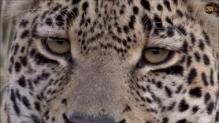 Download Safari Live : Hosana Male Leopard on drive this afternoon evening with Brent May 05, 2018 Video