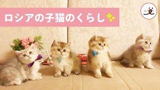 Download ロシア生まれのふわふわ子猫たち😻 愛さずにはいられない💕【PECO TV】 Video
