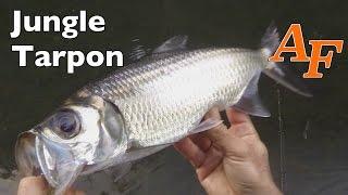 Download Jungle Tarpon fishing Andy's Fish Video EP.332 Video