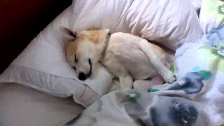 Download Puppy plays dead to avoid the vet - amazingly convincing! Video