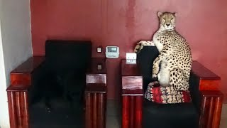 Download Adopted Handicapped Cheetah Sits in Tiny Dog Bed | Cute Big Cat Stands Like A Meerkat Climbs On Car Video