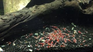 Download How to Breed Crystal Red Shrimp - Shrimp Saturday Video
