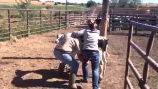 Download Calf riding Video