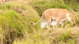 Download Lionesses and cubs Unbelievable!! Video