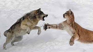 Download Wolf vs Cougar - Who Would Win a Fight? Video