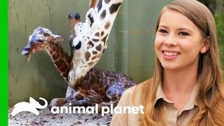Download A New Baby Giraffe Arrives At Australia Zoo!   Crikey! It's The Irwins Video