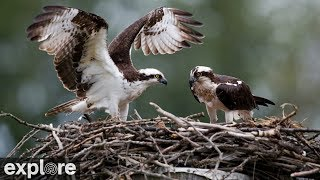 Download Charlo Montana Osprey Nest power by EXPLORE Video