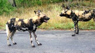 Download Wild dogs elles and lions Video