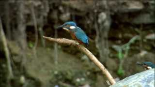 Download Watch Kingfisher Bird Hunt Underwater | Ireland's Wild River | Nature on PBS Video