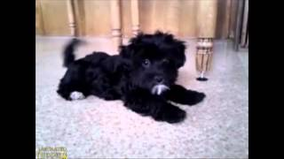 Download Patches Havapoo Puppy Video