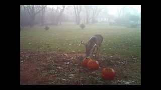 Download The Pumpkin Eaters Video