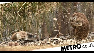Download Mourning koala buries face in its fur as companion lays dead nearby Video