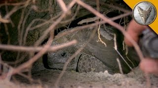Download Going Gopher for Tortoises! Video