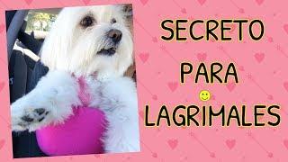 Download Adios MANCHAS en LAGRIMALES del Perro, Coton de Tulear I Lorentix Video