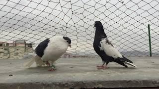 Download brilliant Shirazi Generationبهترين نسل شيرازي افغاني Video