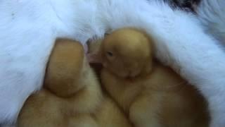 Download AMAZING cat feeding ducklings!!! Video