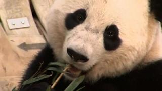 Download DC Zoo Says Bye Bye to Bao Bao the Giant Panda Video