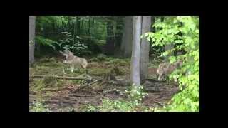Download Wölfe im Nationalpark Bayrischer Wald Video