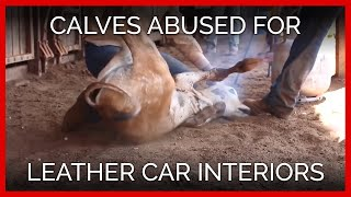 Download Calves Dragged and Face-Branded for Leather Car Interiors Video