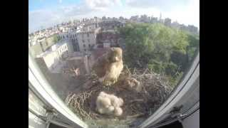 Download Red-tailed Hawks Nest Timelapse Video
