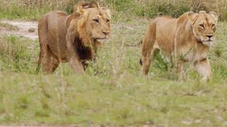Download This Lion Couple Mates Over 100 Times a Day Video