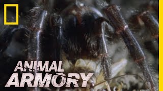 Download Eight Legs and a Killer Bite | Animal Armory Video