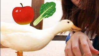 Download 初めて食べるリンゴに納得のいかないアヒルの行動がおもしろい Video