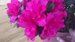 Download Мои комнатные цветы в декабре. (часть 1) Video