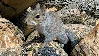 Download Avengers For CATS and Dogs - Cute Squirrels on a LOG - Ultimate 8 Hour Entertainment Video For Pets Video