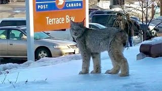 Download Lynx spotted at post office Video