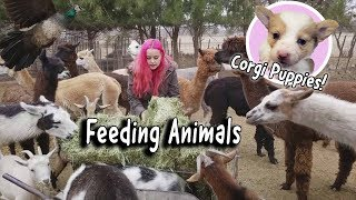 Download Winter Feeding Routine | Llamas, Corgi Puppies, Peacocks Video