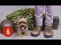 Download The Tiny Yorkie Who Became a World War II Hero Video
