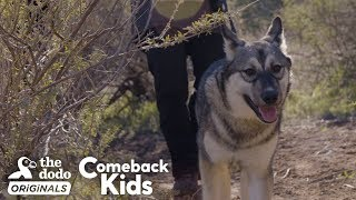 Download Baby Wolf Dog Bounces Back After Rough Start   The Dodo Comeback Kids   The Dodo Comeback Kids Video